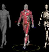 Muskeln und Animation